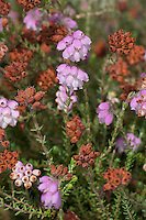 Glockenheide, Glocken-Heide, Moor-Glockenheide, Sumpfheide, Torfheide, Erica tetralix, Cross Leaved Heath, Cross-Leaved-Heath