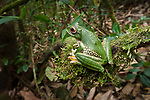 Adult white-lipped or giant tree frog (Boophis albilabris) on moss. Masoala National Park, Madagascar, October.