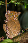 Adult Western or Horsfield's tarsier (Tarsius bancanus) in forest understorey at night. Lowland dipterocarp rainforest, Danum Valley, Sabah, Borneo.