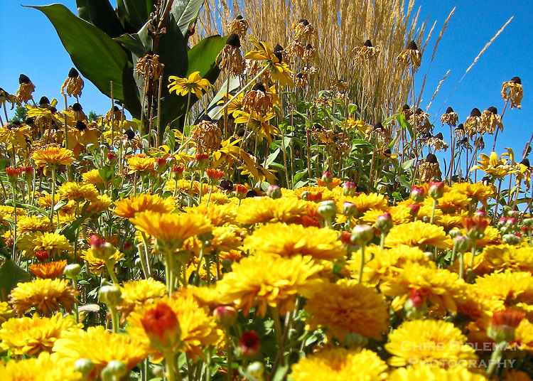 Late Summer yellow flowers of blackeyed susans and chrysanthemums in Southern Oregon with blue sky