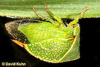 1109-0812  Buffalo Treehopper, Ceresa alta © David Kuhn/Dwight Kuhn Photography.