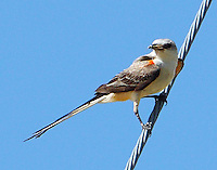 Adult scissor-tailed flycatcher bring insect to nest