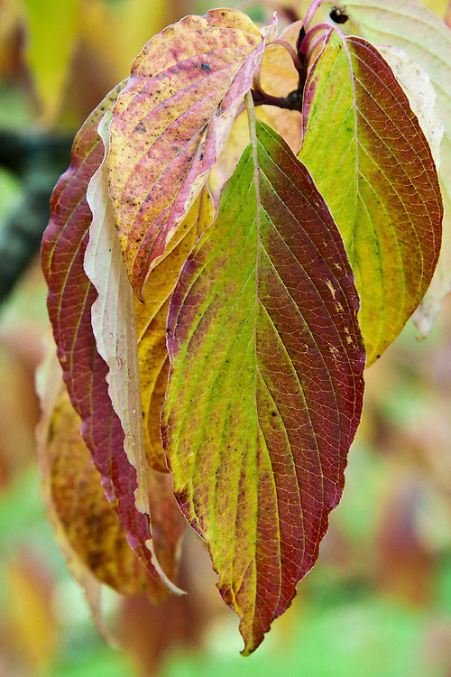 Cornus controversa, end October. A dogwood, sometimes known as the wedding-cake tree.