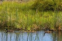Canadian Goose family in Klamath National Wildlife Refuge, Oregon.  May.