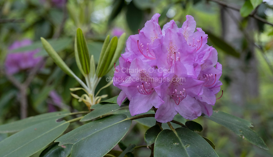 New River Gorge National Park, West Virginia.  Rhododendron along the Endless Wall Trail.