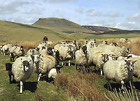 Moving Mule ewes with their lambs, sired by mainly Suffolk and Texel tups, to fresh pasture, Stainforth, near Settle, North Yorkshire.