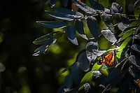A Monarch butterfly momentarily rests on leaves along a trail at the Cull Canyon Region Recreation Area in Castro Valley, California.