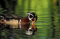 Wood Duck (Aix sponsa) drake drinks with reflection in water, spring, North America.
