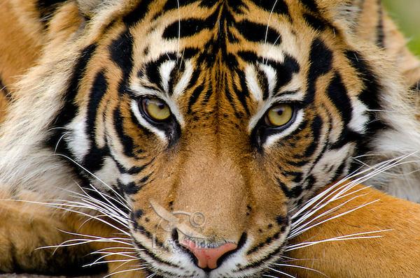 Sumatran Tiger (Panthera tigris).