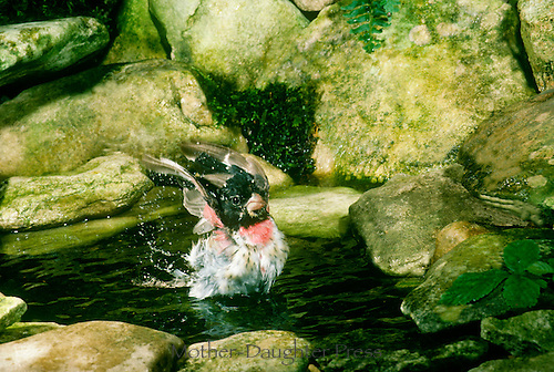 Young male Rose breasted grosbeak, Pheucticus ludovicianus, swings into a yoga pose as part of routine bathing and splashing, Midwest USA