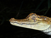 A young spectacled caiman, Caiman crocodilus, head detail at night on Rio El Dorado, Ucayali River,  Loreto, Peru