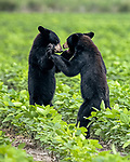 A bear cub offers his brother a hug as they wrestle in a field.  The American Black Bears, two out of three siblings, play after eating while their mother grazes close by.<br /> <br /> The bear family's den is in a nearby forest but they came out to feed and play in the Alligator River National Wildlife Refuge in the east of North Carolina.  SEE OUR COPY FOR DETAILS.<br /> <br /> Please byline: Jennifer Hadley/Solent News<br /> <br /> © Jennifer Hadley/Solent News & Photo Agency<br /> UK +44 (0) 2380 458800