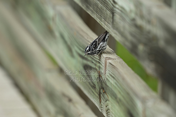 Black-and-White Warbler (Mniotilta varia), male on fence, South Padre Island, Texas, USA