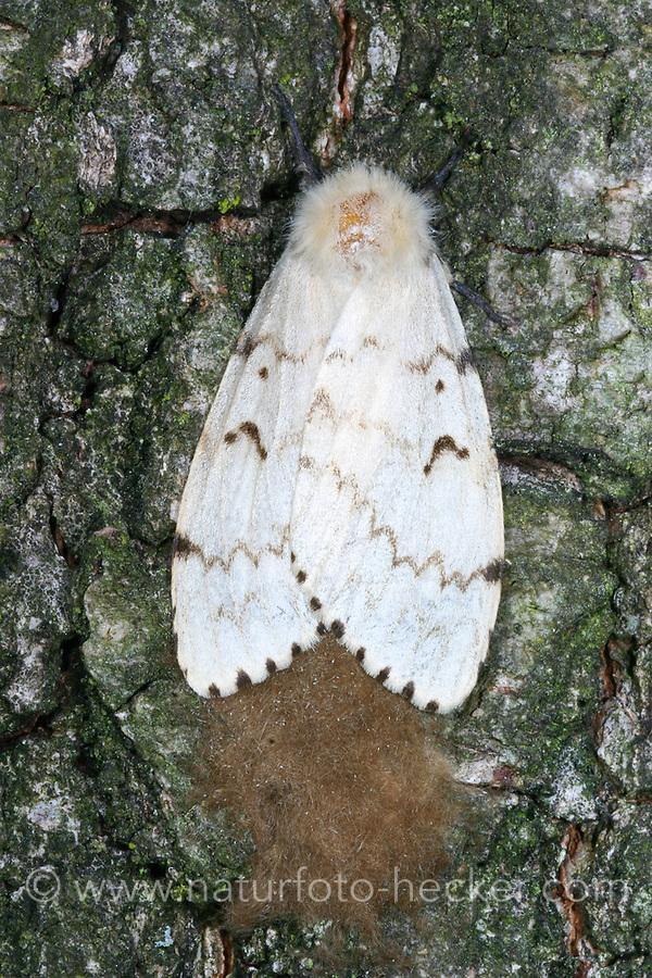 Schwammspinner, Weibchen bei der Eiablage, Ei, Eier, Eigelege, Schwamm-Spinner, Lymantria dispar, gipsy moth, Gypsy Moth, egg, eggs, le Bombyx disparate, Trägspinner, Lymantriidae