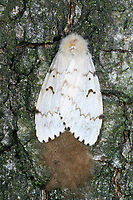 Schwammspinner, Weibchen bei der Eiablage, Ei, Eier, Eigelege, Schwamm-Spinner, Lymantria dispar, gipsy moth, Gypsy Moth, egg, eggs, le Bombyx disparate, Trägspinner, Lymantriidae