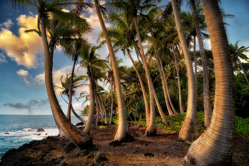 Off coaat road near Pahoa with palm trees. The Island of Hawaii, The big island