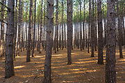 Red pine forest in Franconia, New Hampshire USA.