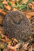 Europäischer Igel, zusammen gerollt, Westigel, Braunbrustigel, Erinaceus europaeus, Western hedgehog, Hérisson d`Europe de l`Ouest