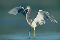 Tricolored Heron, Egretta tricolor, adult fishing, Welder Wildlife Refuge, Sinton, Texas, USA
