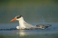 Caspian Tern, Sterna caspia, immature bathing, Welder Wildlife Refuge, Sinton, Texas, USA