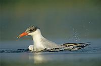 Caspian Tern, Sterna caspia, immature bathing, Welder Wildlife Refuge, Sinton, Texas, USA