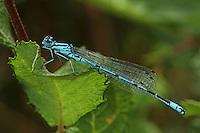 Hufeisen-Azurjungfer, Hufeisenazurjungfer, Azurjungfer, Männchen, Coenagrion puella, Azure Damselfly, male