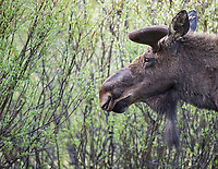 We saw a couple bull moose between Silver Gate and Cooke City. In spring their antlers are still on the small side.