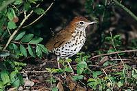 Wood Thrush, Hylocichla mustelina,adult, High Island, Texas, USA, April 2001