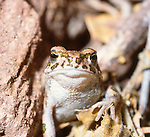 Green toad, Bufo viridis, Turkey