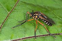 Kleine Wolfsfliege, Raubfliege, Molobratia teutonus, Raubfliegen, Asilidae, robberfly, robberflies