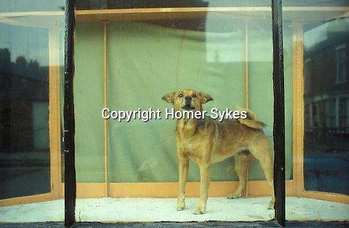 Hull, Humberside. 1980<br /> In Hessle Road, a corkscrew tailed mutt struts his stuff in the shop window, he's in charge and on watch duty.