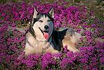 Siberian Huskie