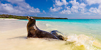 Beautiful seal in the turquoise water of paradisiac Garden Bay's white sand beach, on the eastern shore of Espanola Island, Galapagos, Ecuador