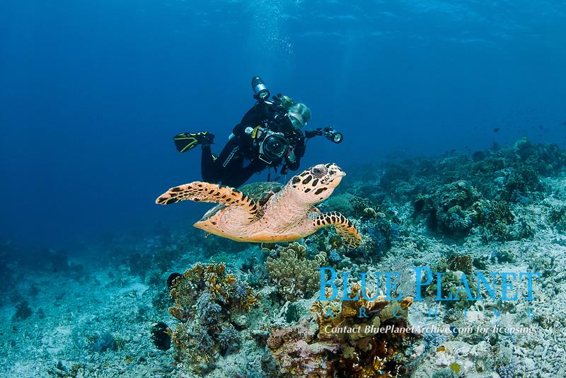 hawksbill sea turtle, Eretmochelys imbricata, and scuba diver, Indonesia, Indo-Pacific Ocean, MR