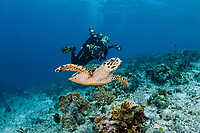 hawksbill sea turtle, Eretmochelys imbricata, and scuba diver, Indonesia, Indo-Pacific Ocean, MR