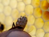 A bee secreting wax scales. The bee has 8 wax glands of which the bee controls the functioning in well-determined, heat and dietary conditions. Only the bees between the ages of 12 to 18 days produce wax.<br /> Sécrétion d'écailles de cire par une abeille. L'abeille possède 8 glandes cirières qui fonctionnent sous la volonté de l'abeille et dans des conditions bien déterminées de chaleur et d'alimentation. Seules les abeilles âgées de 12 à 18 jours en produisent.