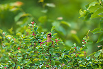 Cedar waxwing eating a Juneberry in northern Wisconsin.