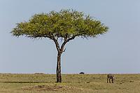 Tanzania. Serengeti. Balanites Aegyptiaca, Desert Date Tree, or Thron Tree, or Soap Berry Tree.