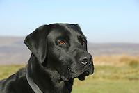 Male Labrador dog's head.