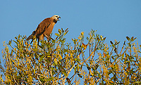 The Black-collared hawk is a species of raptor commonly seen in the Pantanal.