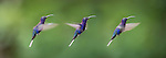 Male Violet Sabrewing (Campylopterus hemileucurus) hovering / in flight sequence. Montane forest, Bosque de Paz, Caribbean slope, Costa Rica, Central America (digital composite)