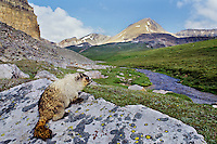 Hoary Marmot watching over alpine valley high in the Northern Rockies.  Summer.