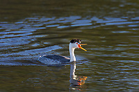 Clark's grebe (Aechmophorus clarkii) calling.  Klamath Basin, Oregon.  May.