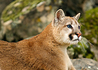 Mountain Lions in the wild