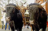 Le Festival de l'élevage et du veau de lait élevé sous la mère.<br /> Attelage de Boeufs Salers noirs, rare mais pas exceptionnels.