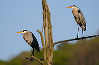 Adult Great Blue Herons (Ardea herodias) pershed in rookery. Tompkins County, New York. May.