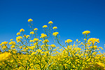 Europa, DEU, Deutschland, Nordrhein-Westfalen, Niederrhein, Duisburg, Rheinaue Walsum, Vegetation, Gelbe Blueten, Natur, Umwelt, Landschaft, Jahreszeiten, Stimmungen, Landschaftsfotografie, Landschaften, Landschaftsphoto, Landschaftsphotographie, <br /> <br /> [Fuer die Nutzung gelten die jeweils gueltigen Allgemeinen Liefer-und Geschaeftsbedingungen. Nutzung nur gegen Verwendungsmeldung und Nachweis. Download der AGB unter http://www.image-box.com oder werden auf Anfrage zugesendet. Freigabe ist vorher erforderlich. Jede Nutzung des Fotos ist honorarpflichtig gemaess derzeit gueltiger MFM Liste - Kontakt, Uwe Schmid-Fotografie, Duisburg, Tel. (+49).2065.677997, ..archiv@image-box.com, www.image-box.com]