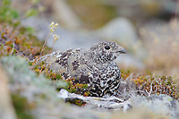 Adult female White-tailed Ptarmigan (White-tailed Ptarmigan) roosting in alpine vegetation. This species undergoes almost continuous molt from spring until fall resulting in a variety of plumages that match the species changing alpine environment. Central Cascades, Washington. September.