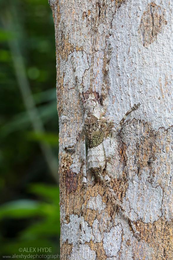 Lichen-mimicking Katydid (Tettigoniidae), Manu Biosphere Reserve, Amazonia, Peru. November.