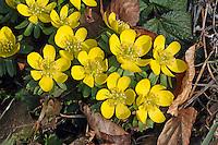 Kleiner Winterling, Eranthis hyemalis, Winter Aconite